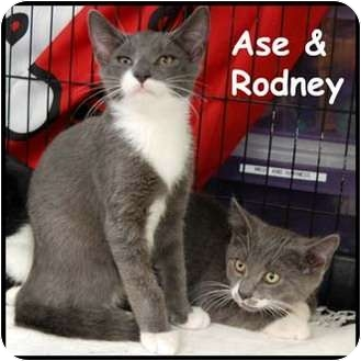 Domestic Shorthair Cat for adoption in Merrifield, Virginia - Ase