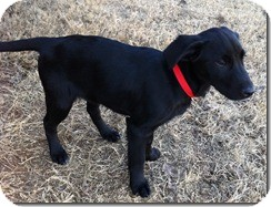 Labrador Retriever Mix Puppy for Sale in Manchester, Connecticut - Shadow ADOPTION PENDING