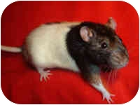 Rat for Sale in Winner, South Dakota - Linnie