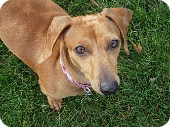 Dachshund Mix Dog for Sale in Boise, Idaho - Lady