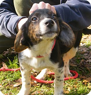 Setter (Unknown Type) Mix Puppy for adption in Anywhere, Connecticut - Benny Adoptiom fee reduced