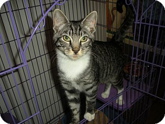 Domestic Shorthair Cat for Sale in Bayonne, New Jersey - Adam