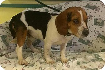 Beagle Dog for Sale in Ridgely, Maryland - Kyle