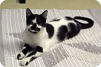 Domestic Shorthair Cat for adoption in Chicago, Illinois - Paradox