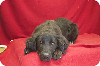 Labrador Retriever Mix Dog for Sale in New cumberland, West Virginia - Moose