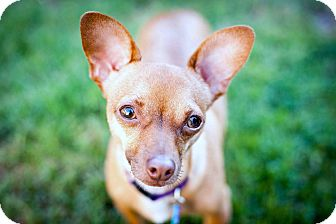 Chihuahua Mix Dog for Sale in Bellflower, California - Barney - 7 lbs!