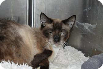 Siamese Cat for Sale in North Branford, Connecticut - Koko