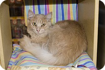 Domestic Longhair Cat for Sale in Elfers, Florida - Palmer