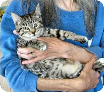 Domestic Shorthair Cat for Sale in Fairbury, Nebraska - Hazar