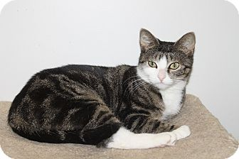 Domestic Shorthair Cat for adoption in North Branford, Connecticut - Danae