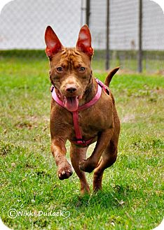 American Pit Bull Terrier/Boxer Mix Dog for adption in Orlando, Florida - Nora (Ginger)