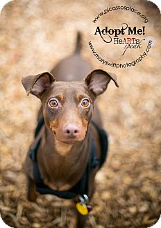 Miniature Pinscher Dog for Sale in Myersville, Maryland - Danny