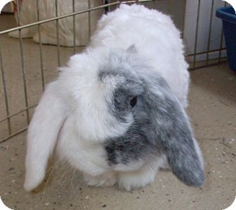 American Fuzzy Lop for Sale in Foster, Rhode Island - Lloyd