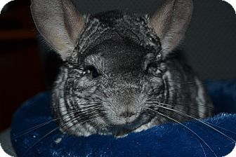 Chinchilla for Sale in Selden, New York - Cloud