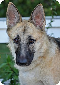 German Shepherd Dog Mix Dog for Sale in Los Angeles, California - Nala von Somer