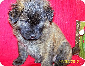 German Shepherd Dog/Boxer Mix Puppy for Sale in Niagra Falls, New York - Brusier
