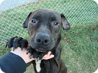 Shar Pei/Labrador Retriever Mix Dog for adption in Lisbon, Ohio - Tuxedo