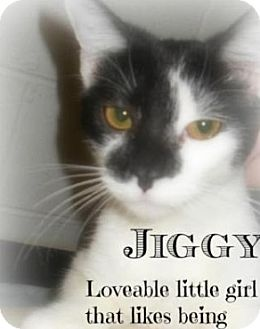 American Shorthair Cat for Sale in Shippenville, Pennsylvania - Jiggy
