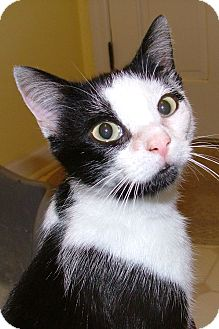 Domestic Shorthair Cat for adoption in Chattanooga, Tennessee - Missy