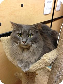 Maine Coon Cat for Sale in Monroe, Georgia - Timothy