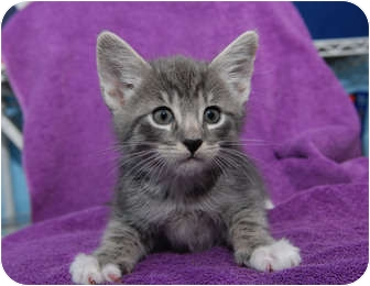 Domestic Shorthair Kitten for Sale in New York, New York - Lowell