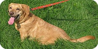 Labrador Retriever Mix Dog for Sale in Lisbon, Ohio - Honey