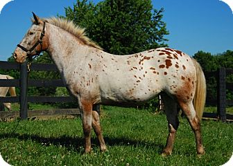 Pony - of America Mix for Sale in Nicholasville, Kentucky - Lucy
