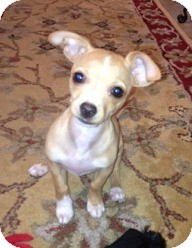 Chihuahua Mix Puppy for Sale in San Diego, California - Matthew