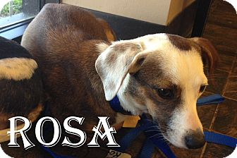 Chihuahua/Dachshund Mix Dog for Sale in Rockwall, Texas - Rosa
