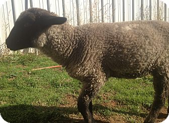 Sheep for Sale in Bangor, California - Trinket