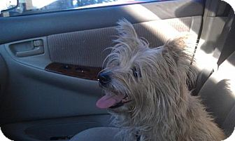 Cairn Terrier Mix Dog for Sale in Las Vegas, Nevada - Sandy