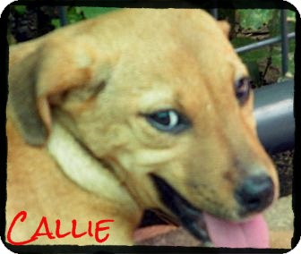 Shepherd (Unknown Type)/Labrador Retriever Mix Puppy for Sale in manasquam, New Jersey - Callie *Reduced Adoption Fee*