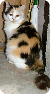 Calico Cat for Sale in Chattanooga, Tennessee - Chessie