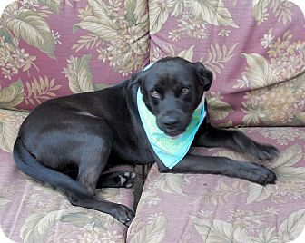 Labrador Retriever/Boxer Mix Dog for Sale in Ormond Beach, Florida - Luke