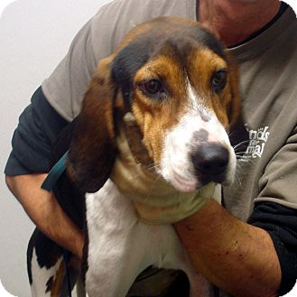 Treeing Walker Coonhound Dog for adption in hagerstown, Maryland - Cash