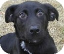 Labrador Retriever/Shepherd (Unknown Type) Mix Dog for Sale in Lincolnton, North Carolina - Lexi