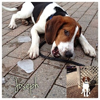 Treeing Walker Coonhound Puppy for Sale in Westland, Michigan - Joseph
