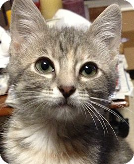 Domestic Shorthair Kitten for Sale in Kansas City, Missouri - Abby