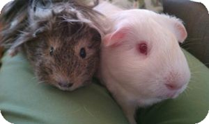 Guinea Pig for Sale in Costa Mesa, California - Marshmellow and Tumbleweed