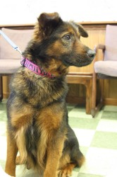 Shepherd (Unknown Type) Mix Dog for Sale in Dover, Ohio - Joy