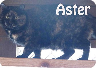 American Shorthair Cat for Sale in Hamilton, Montana - aster