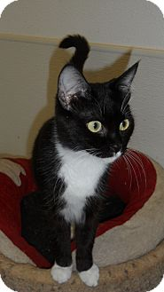 Domestic Shorthair Cat for adoption in Seattle, Washington - Jingle