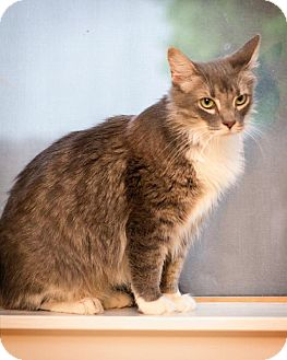 Maine Coon Cat for Sale in San Antonio, Texas - Willow