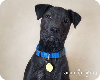 Labrador Retriever/Shar Pei Mix Puppy for Sale in Phoenix, Arizona - Orion