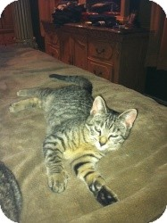 Domestic Shorthair Kitten for adoption in Belleville, New Jersey - Franka