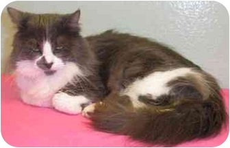 Domestic Longhair Cat for adoption in El Cajon, California - Diabla