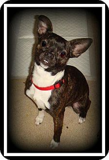 Boston Terrier Mix Dog for Sale in Indian Trail, North Carolina - Pebbles