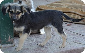Poodle (Miniature)/Terrier (Unknown Type, Small) Mix Dog for adption in Simi Valley, California - Stormy