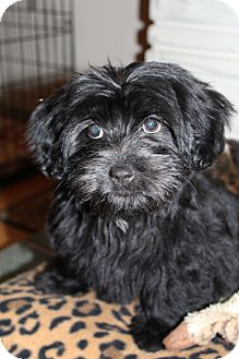Scottie, Scottish Terrier/Shih Tzu Mix Puppy for Sale in Bedminster, New Jersey - Prada