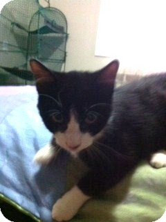 Domestic Mediumhair Kitten for Sale in Emsdale (Huntsville), Ontario - Baron - Born in August!